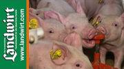 Hom�opathie im Schweinestall
