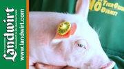 Elektronische Ohrmarken f�r Schweine