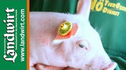 Elektronische Ohrmarken für Schweine