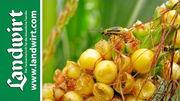 Tipps gegen den Maiswurzelbohrer