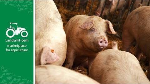 Richtige Fütterung in der Schweinemast