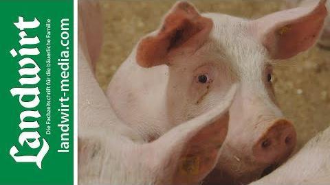 Kot-Harn-Trennung im Schweinestall
